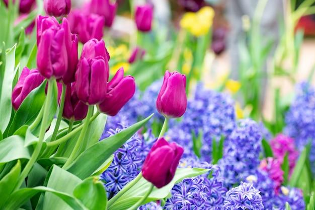 Bunt von der jahreszeit des tulpenblumenfeldes im frühjahr, purpurrote tulpe