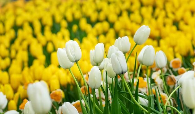 Bunt von der jahreszeit des tulpenblumenfeldes im frühjahr