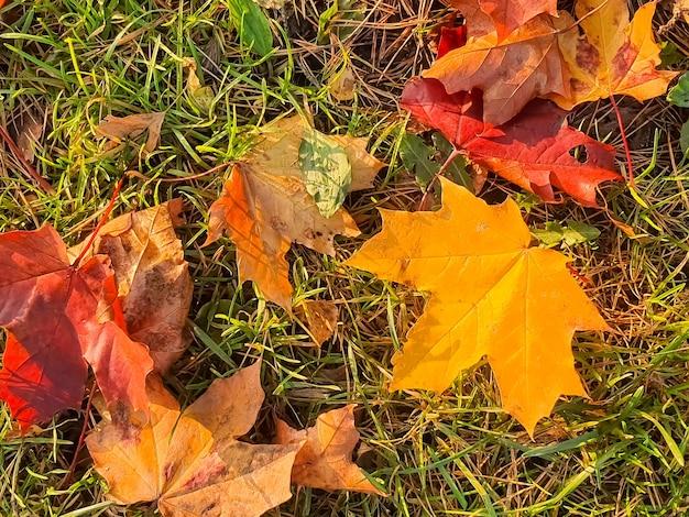 Bunte ahornblätter der nahaufnahme im sonnenlicht auf dem natürlichen hintergrund des grasesherbstblätter auf dem boden in ...