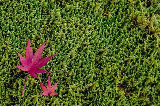 Bunte ahornblätter fallen auf grünen moosgartenhintergrund im herbst von japan.