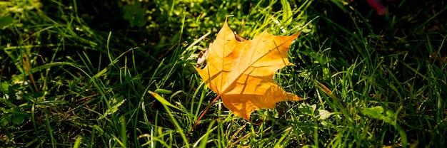 Bunte ahornblätter im sonnenlicht auf dem rasen. gefallene blätter im herbst auf dem boden im sonnenlicht.