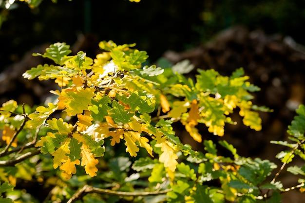 Bunte blätter an einem sonnigen tag, parkszene. grüner und gelber eichenzweig. goldene eichenblätter von bäumen