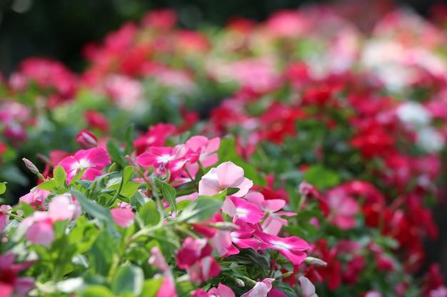 Bunte blumen catharanthus roseus g. don verzieren am hintergrund des öffentlichen parks thailands