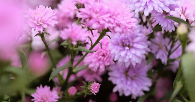 Bunte blumenchrysantheme für hintergrund