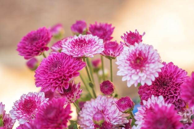 Bunte blumenchrysantheme gemacht mit steigung für hintergrund