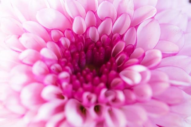 Bunte blumenchrysantheme