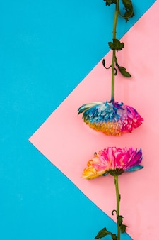 Bunte chrysanthemenblume auf rosa und blauem copyspace