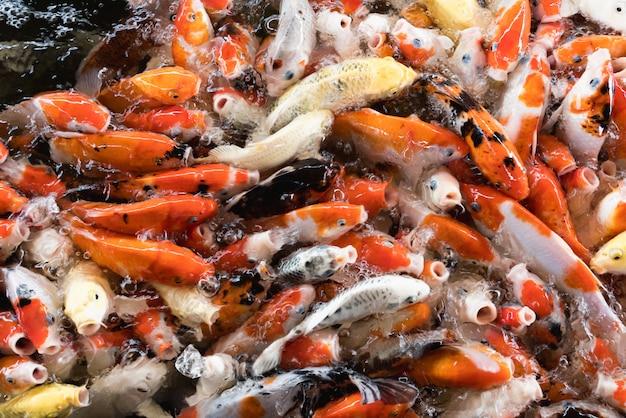 Bunte fantastische karpfenfische, koi fische