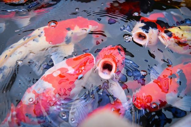 Bunte fantastische koi-fische auf dem oberflächenwasser - schöne fischkarpfen, die im teichgarten schwimmen, genießen das futtermittelschwimmen