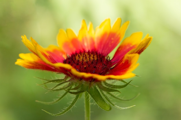 Bunte gelb-orange gaillardia (gaillardia x hybrida) auf einer natürlichen grünen hintergrundnahaufnahme. makrofoto.