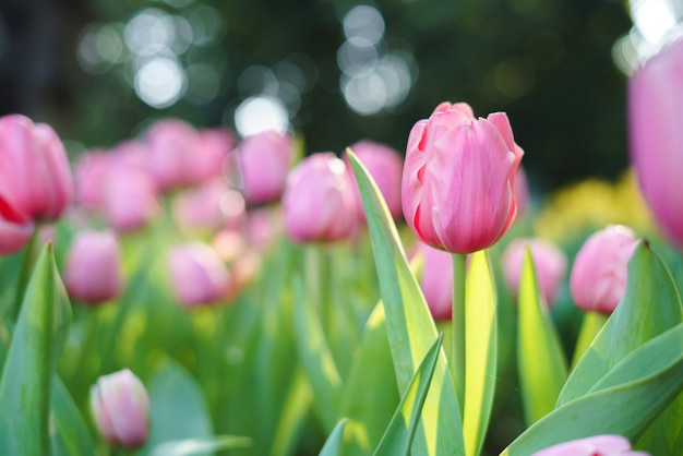 Bunte gelbe tulpen