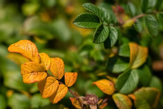Bunte gelbe und grüne blätter der heckenrose in der herbstsaison