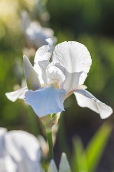 Bunte gelbe und weiße iris