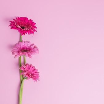 Bunte gerberablüten auf rosa hintergrund pink