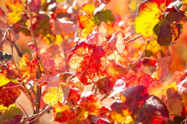 Bunte goldene rote weinbergblätter des herbstes
