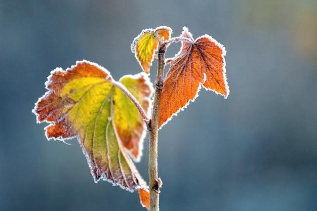 Bunte herbst johannisbeerblätter bedeckt mit weißem frost auf einem dunklen unscharfen hintergrund