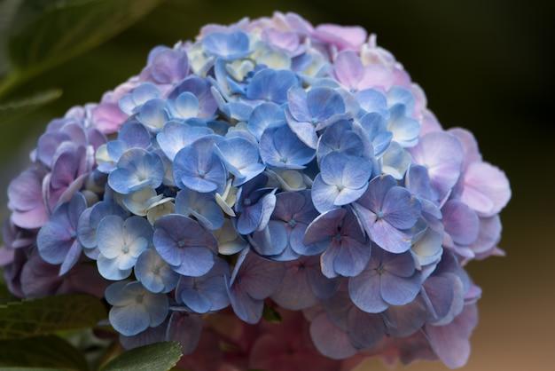Bunte hortensieblume auf natürlichem hintergrund.