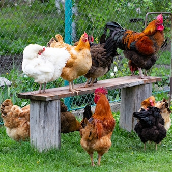 Bunte hühner und hähne auf dem gras in einem feld.