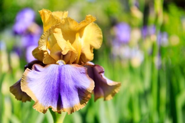 Bunte irisblumen wachsen in einem garten.