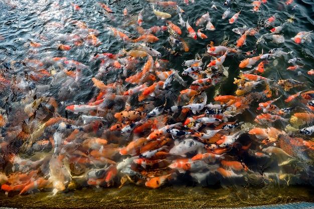 Bunte karpfenfischschwimmen im teich