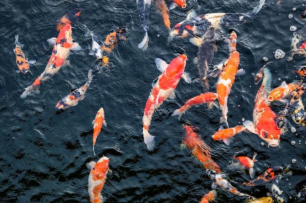 Bunte koi fischschwimmen im teich
