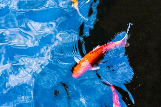 Bunte koi-fischschwimmen in einem teich im garten