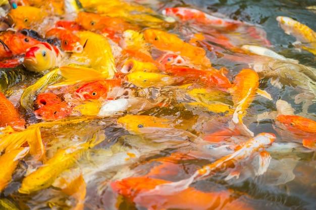 Bunte koi fischschwimmen in einem wasserteich
