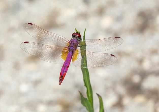 Bunte libelle, die auf pflanze sitzt
