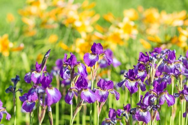 Bunte lila iris