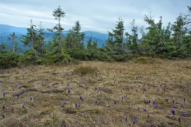 Bunte lila krokusblumen auf dem hochlandrasen in den karpaten mit tannenbäumen im hintergrund. frühling in den karpaten, ukraine.