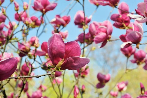 Bunte lila magnolie im frühjahr, nahaufnahme. erstaunliche landschaft mit blumen