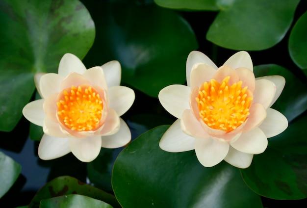 Bunte lotosblume mit grünem reaf