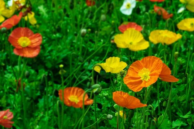 Bunte mohnblumenblumen, papaverfeld am sonnigen tag.