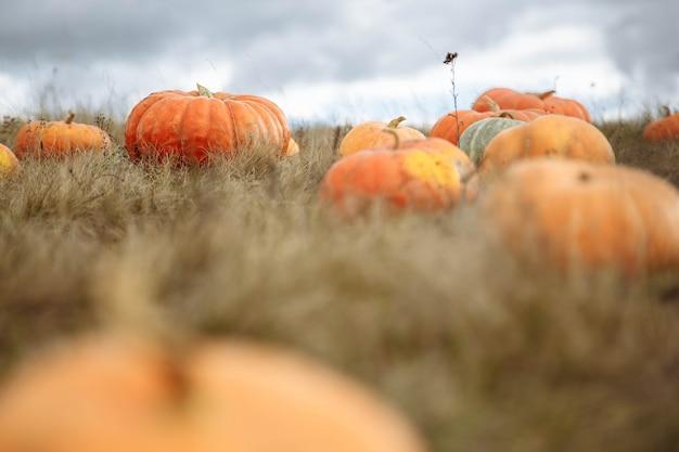 Bunte orange kürbise auf einem gebiet. abschluss des selektiven fokus oben mit hintergrundunschärfe. hintergrund für die herbstsaison und halloween