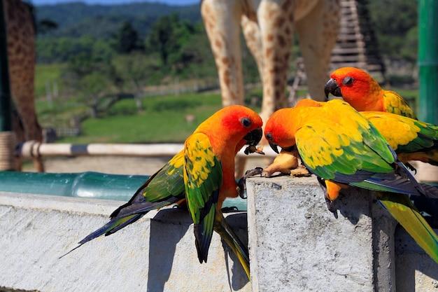 Bunte papageien mit schwarzem schnabel beim gemeinsamen essen