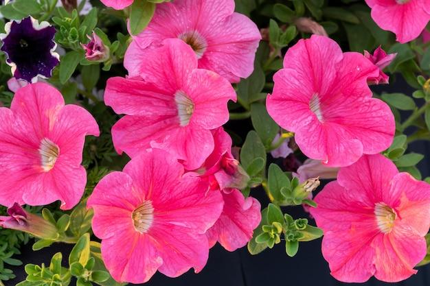 Bunte petunienblüten unter natürlichem licht. sommerblumenbeete.