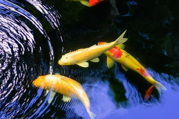 Bunte phantasiekarpfen oder koi-fische schwimmen. koi fische schwimmen im teich.