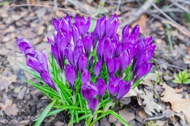 Bunte purpurrote krokusblumen, die an einem sonnigen frühlingstag im garten blühen