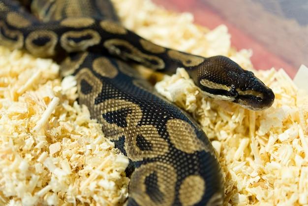 Bunte pythonschlange der nahaufnahme nachts, weichzeichnung, selektiver fokus