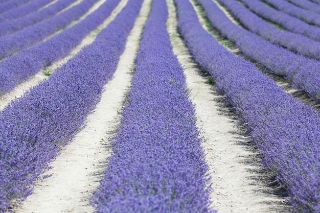 Bunte reihen blühende lavandula oder landschaft mit lavendelfeld. selektiver fokus, gestaltungselement.