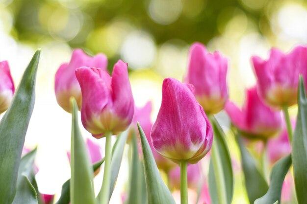 Bunte rosa tulpen und grüne blätter mit licht.