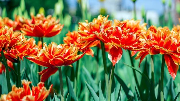 Bunte rot-orange tulpenblumen auf einem blumenbeet im stadtpark.
