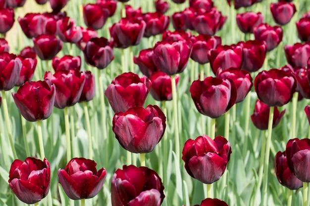 Bunte schwarze tulpenblumen, die in einem garten blühen
