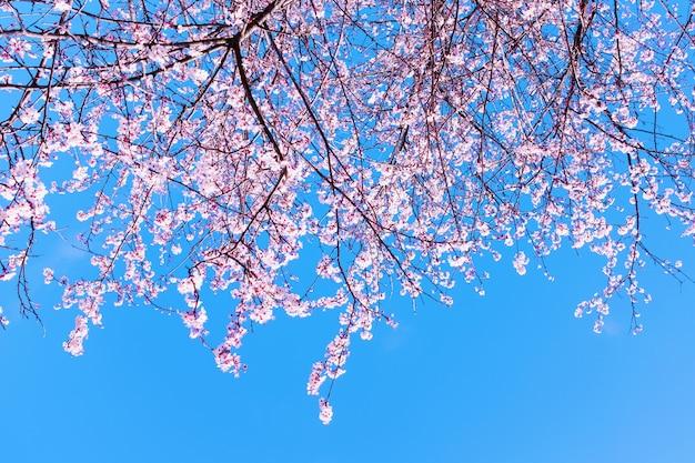 Bunte szene zarter kirschblüte-blüte gegen blauen himmel