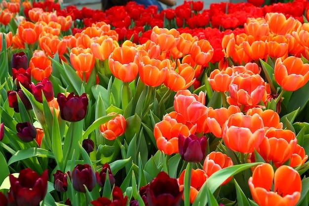 Bunte tulpen im garten