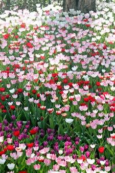 Bunte tulpen in den plantagen.
