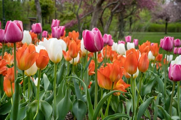 Bunte tulpen in einem park