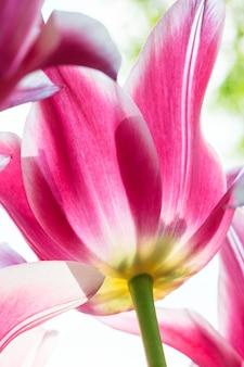 Bunte tulpen schließen gegen blauen himmel im keukenhof blumengarten, lisse, niederlande, holland