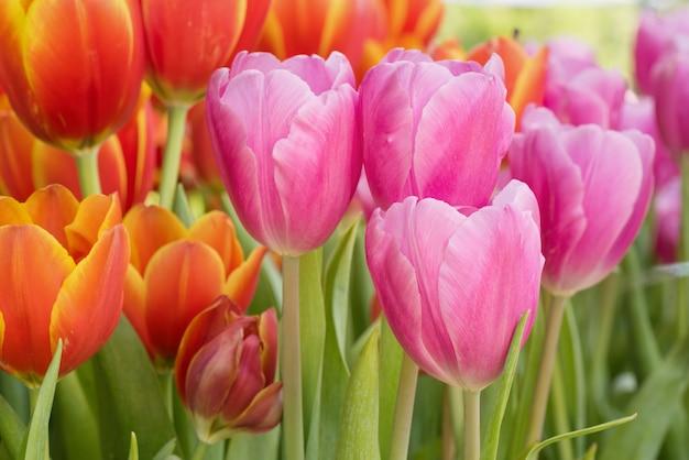 Bunte tulpenblume im natürlichen gartenpark