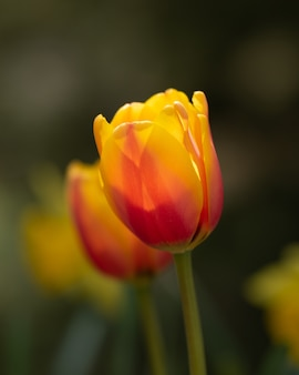 Bunte tulpenblumen auf dem feld